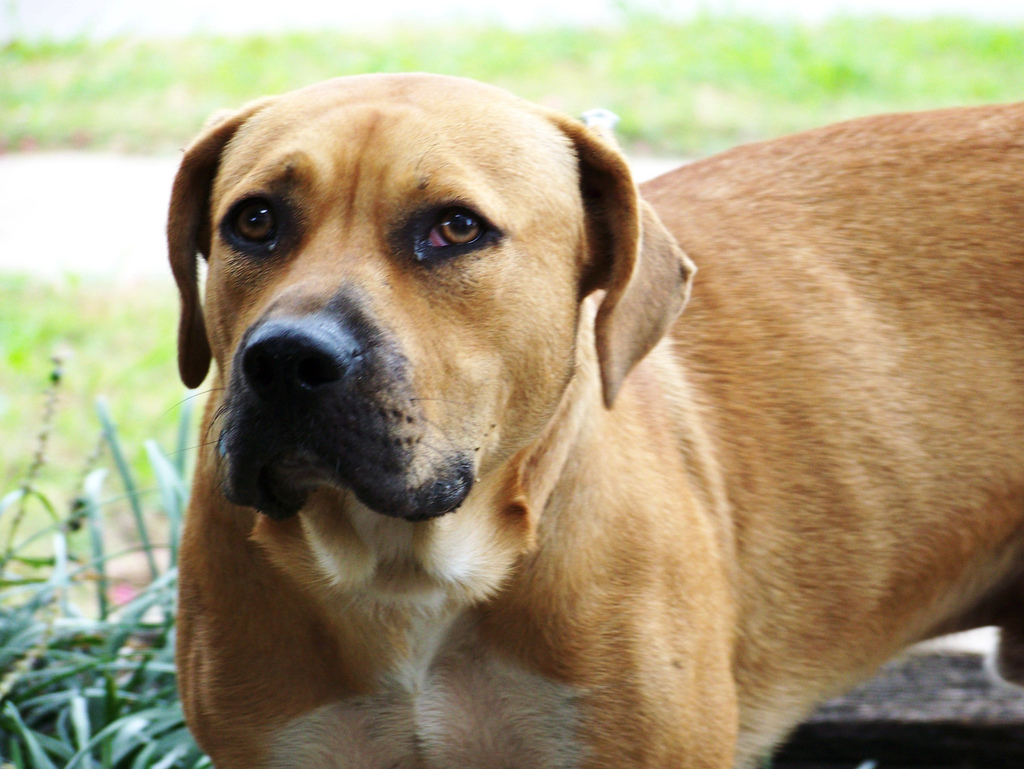 excellent pups the blackmouth cur and the mountain cur although
