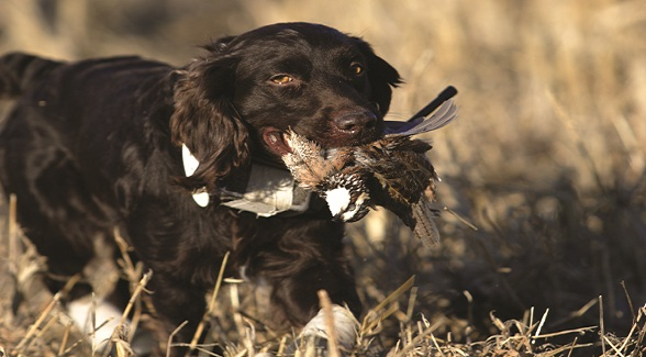 Land's Best Friend: Boykin Spaniel