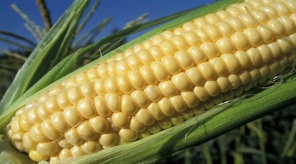 Corn_lg
