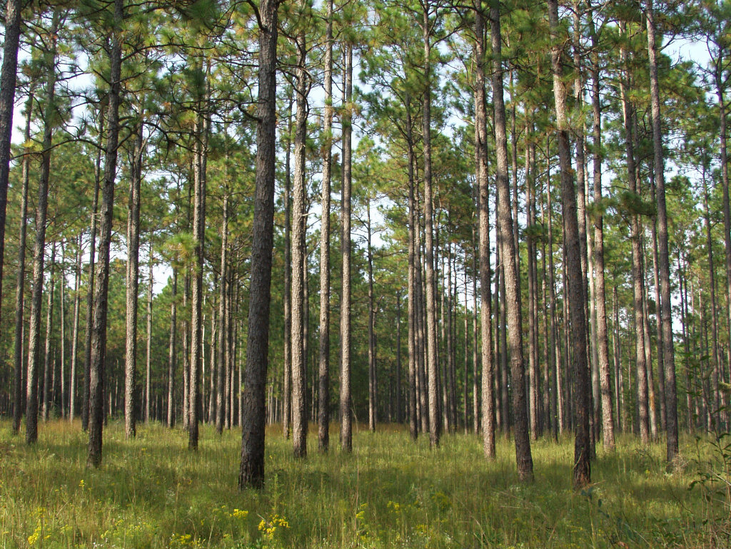 The National Fish and Wildlife Foundation (NFWF) has announced $3.38M in grants to further restore the longleaf pine ecosystem. The grants cover 15...