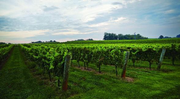 vineyard_lg
