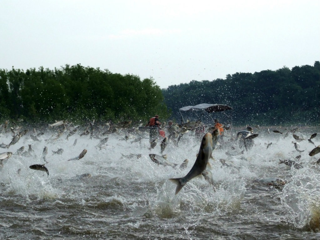 The U.S. Fish and Wildlife Service reports that Asian carp are knocking on the door of the Great Lakes. Sampling data, collected in October, show the...