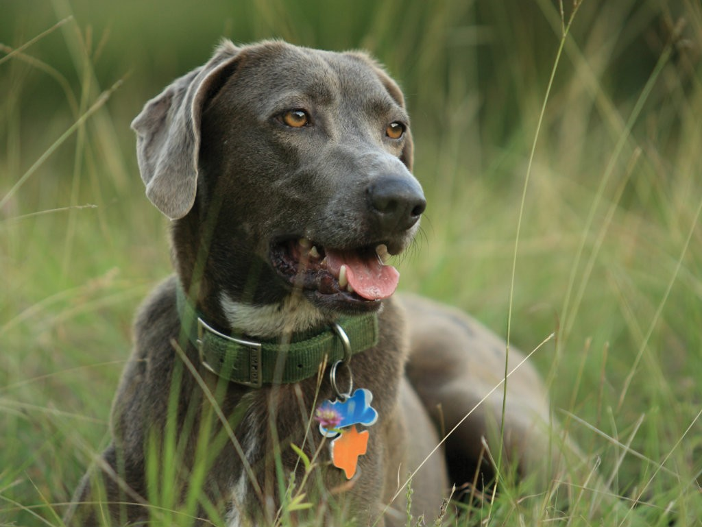In the heart of cattle country, the Blue Lacy shines. In 2005, the State of Texas designated the Blue Lacy Texas's official dog breed. This...
