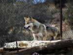 MexicanGrayWolf_fi