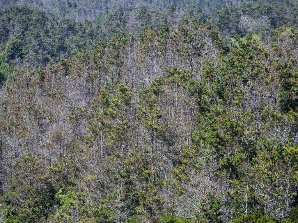 Four years of punishing drought coupled with a dramatic rise in bark beetle infestation and warmer temperatures has led to record levels of tree...