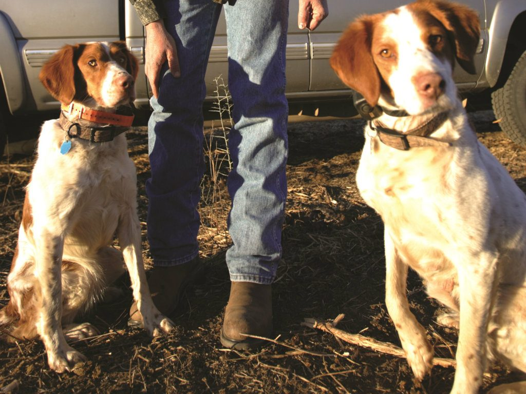 Despite its inauspicious heritage, the Brittany spaniel is well beloved by its legions of fans. – Henry Chappell The rootstock of the modern...