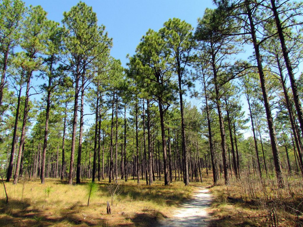 Recognized as one of the most biologically diverse ecosystems on earth, longleaf pine forests once totaled more than 90 million acres and extended...