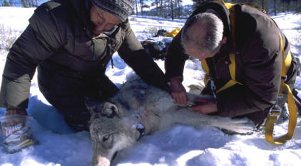 Biologists  with tranquilized gray wolf