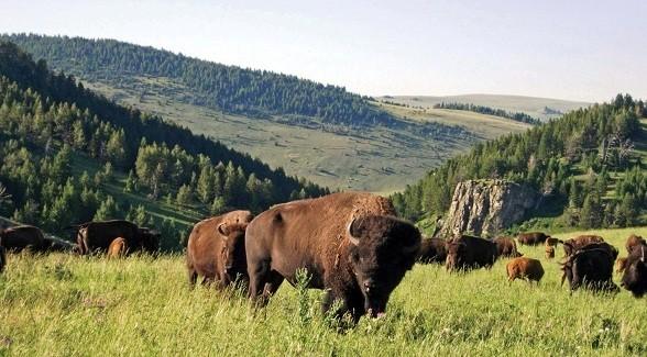 bison588
