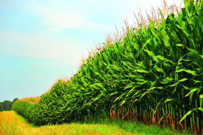 Following the passage of the Renewable Fuel Standard, the amount of corn used to fuel ethanol production almost tripled from 14% in 2005 to 41% in 2012.