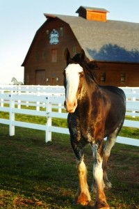 Built in 1936, the Express Clydesdale Barn was meticulously restored by a crew of Amish carpenters brought in by Bob Funk.