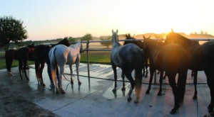 A pony line at the wash rack after morning sets.