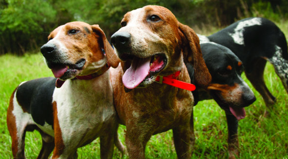 Tell-the-Truth, the English coonhound on the right, and Lawyer, the Treeing Walker on the left, are raring to go for their master, Big Wayne McCray.
