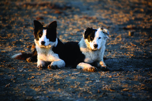 The ways of the American West, including training pups, are practiced on a daily basis by Hearst Ranch hands.