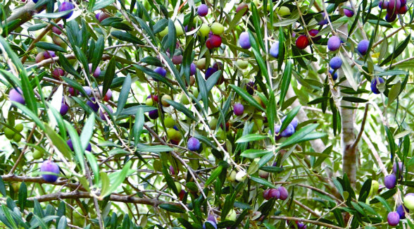 One typically finds riper, darker olives at the top of a tree. Farther down greener olives predominate, clustered below in the shade.