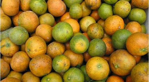 CitrusGreening_lg