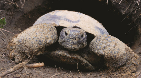 Turner's Nonami Plantation in Georgia includes ideal habitat for several imperiled species, including the gopher tortoise.