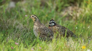Increasingly rare and enormously valuable, coastal holdings such as Powderhorn Ranch are a haven for game, upland birds, and waterfowl, an attribute that makes the 17,351-acre tract even more appealing as a state wildlife management area.