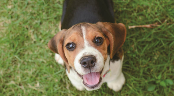 Beagle Puppy lg