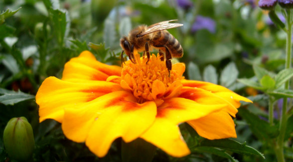 HoneyBee_lg