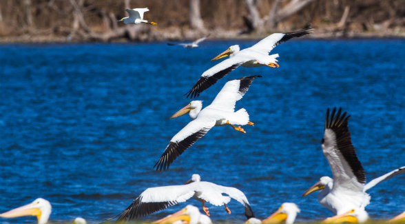 American white pelicans throng to the 14 lakes on Sandow Lakes Ranch en route to and from breeding grounds in the Northern Great Plains. Their menu includes largemouth and small bass, hybrid Florida bass, striped bass, bluegill, crappie, redear perch, sunfish perch, tilapia, channel catfish, and chad.