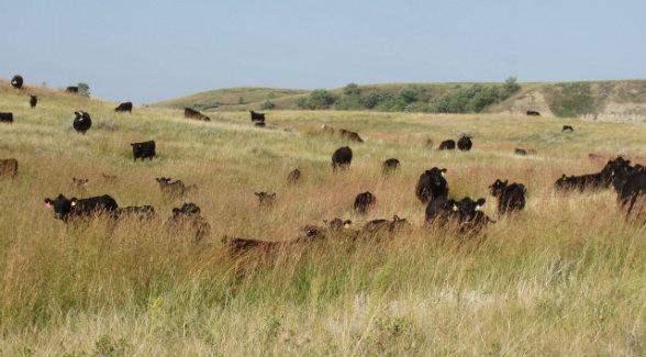 CattleGrazing_lg