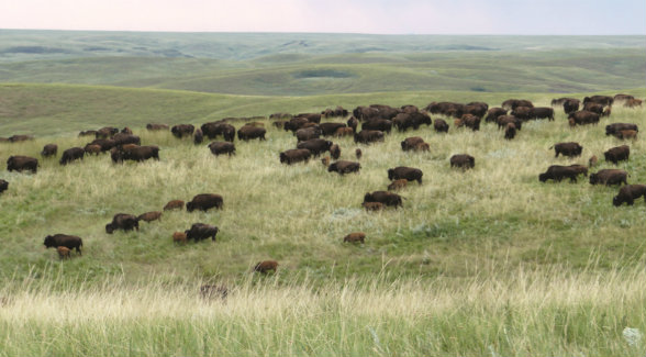 Formerly known as the Triple U, the Standing Butte Ranch's 46,000 acres are native prairie grassland that has never been scarred by disc or blade.