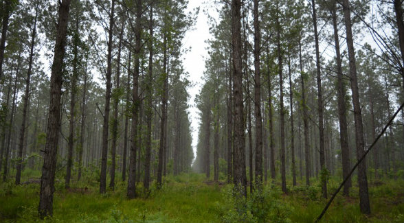 For Sale 17 045 Acre Pine Plantation In Arkansas The