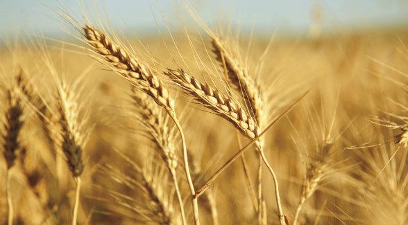 wheat_lg