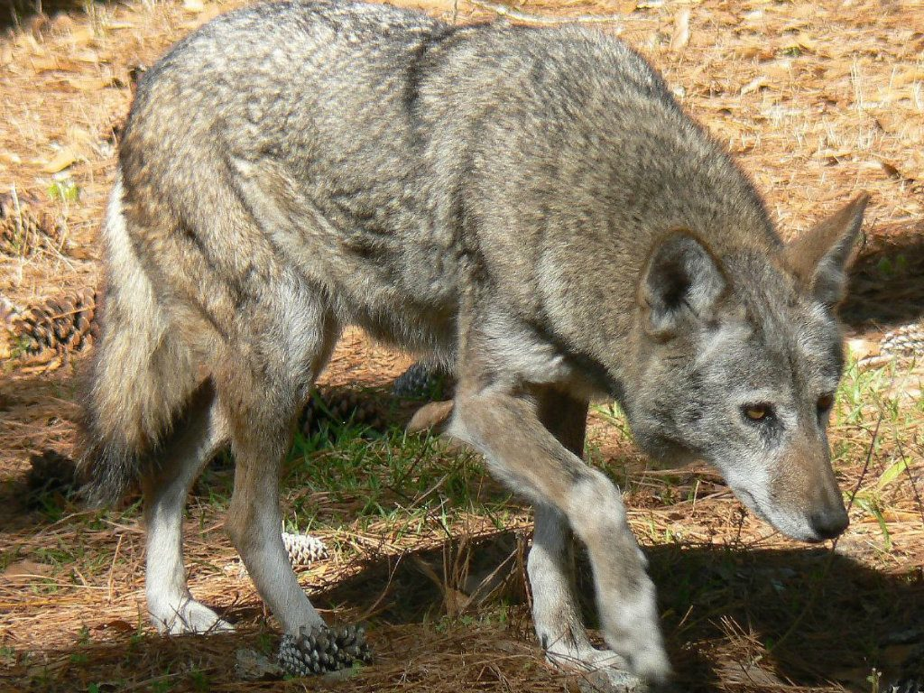 A federal judge in North Carolina made permanent a temporary injunction against the US Fish and Wildlife Service's shoot-to-kill authorization on...