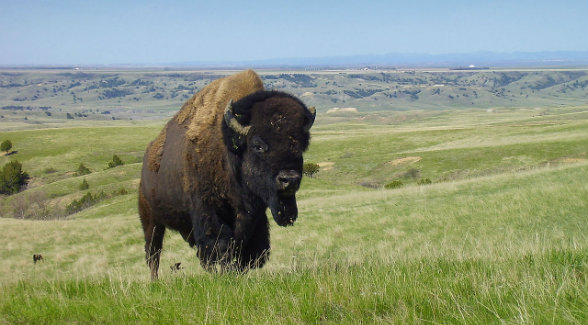 America's National Mammal Returns to Badlands Habitat for the First Time in More Than a Century