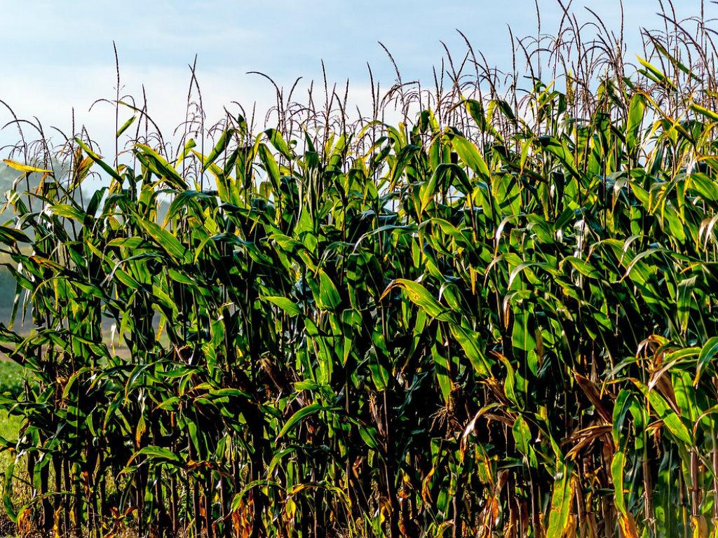 Tenth District Farmland Values Weaken